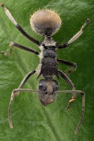 239 best world of ants images on pinterest ants insects and