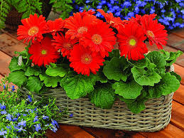 gerbera plant tips to care for your gerbera plants nurserylive