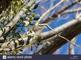 Italy Photo Album Mistletoe Viscom Album On A Tree Italy Stock Photo Royalty