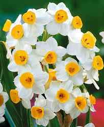 Ideas For Daffodil Varieties Design Buy Daffodil Online Bakker Com
