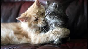 beautiful cat and kitten cats free hd wallpapers for desktops