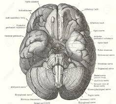 Base Of The Skull Anatomy Brain Anatomy Stock Photos Royalty Free Brain Anatomy Images And