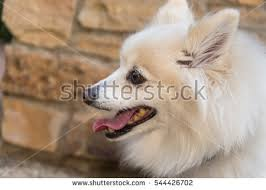 types of american eskimo dogs american eskimo dog stock images royalty free images u0026 vectors