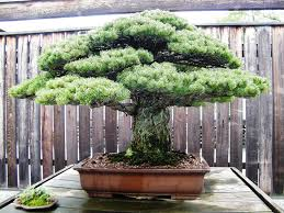 bonsai prices bonsai empire