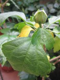 hibiscus plant care tips growing planting cutting pruning