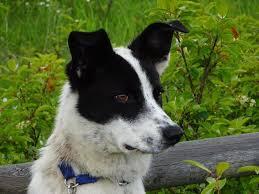 australian shepherd queensland heeler mix pictures available dogs