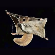 mammiferi volanti scoiattolo russo volante paradiso esotico