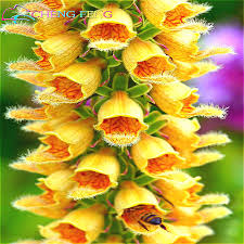 foxglove flower seeds 100 seeds for garden planting seedlings