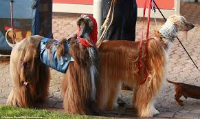 afghan hound snood how crufts turned into a cat walk for dogs as canine u0027s don onesies