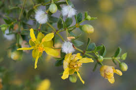 native plants of arizona larrea tridentata wikipedia