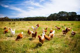 4 seeds to feed backyard chickens rareseedsource com