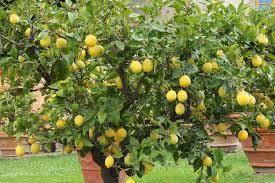 citrus trees meyer lemon tree kaffir lime tree blood orange