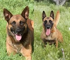 contes d hoffmann belgian malinois upcoming litters dantero malinois