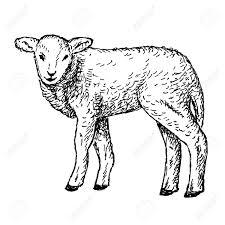 drawn lamb mammal pencil and in color drawn lamb mammal