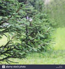 the small fir tree grows in the city on a background of green grass