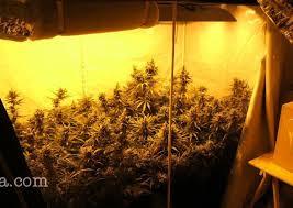 plants that grow in dark rooms cannabis sativa indica ruderalis