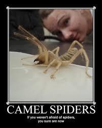 Afraid Of Spiders Meme - camel spiders by ameme jones on deviantart