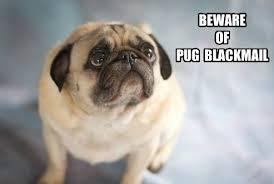 Funny Pug Memes - 25 hilarious pug memes babble