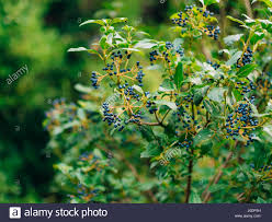 sambucus branch on the tree blue berries stock photo royalty