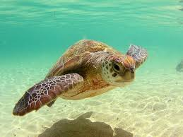 images for u003e pretty sea turtles sea turtles pinterest sea