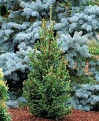 ornamental pine trees here are our recommendations pine pine