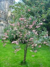 vilmoran u0027s rowan sorbus vilmorinii shrubs and trees