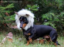 Halloween Costumes Dachshunds 10 Dog Costumes Crusoe Celebrity Dachshund