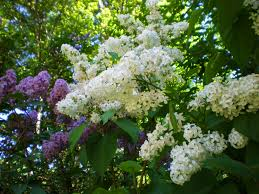 lilacs white and purple rose cottage gardens and farm