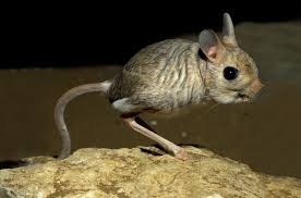 5 jerboa facts explaining cute jumping rodent u2013 national