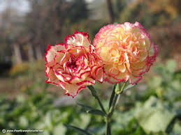 carnation flowers carnation pictures carnation flower pictures