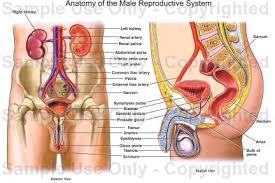 The Anatomy Of The Male Reproductive System Anatomy Of The Male Reproductive System Medical Illustration
