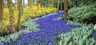 a touch of blue bulbs for a blue flower garden garden bulb