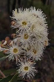 native australian flowering plants 478 best aussie natives images on pinterest australian flowers