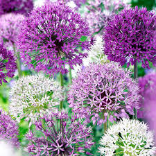 allium flowers bulbs purple mix