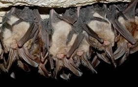 free picture hibernating virginia big eared bats cave