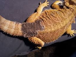 health dull patch bearded dragon pets