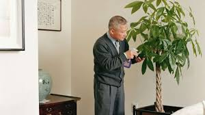 historically houseplants were for rich now chinese money tree