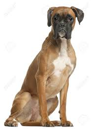 boxer dog 10 months boxer dog stock photos royalty free boxer dog images and pictures
