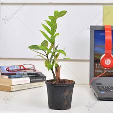 Best Plant For Office Desk Buy Top 3 Table Top Office Desk Plants At Nursery Live