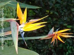 birds of paradise flower orange bird of paradise