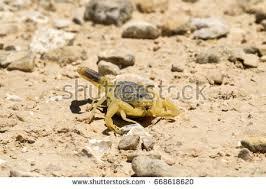 Seeking Lizard Scorpion Deathstalker Negev Desert Seeking Refuge Stock Photo