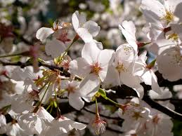 why don t ornamental cherry trees produce fruit