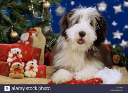 bearded collie puppy lying next to tree and presents