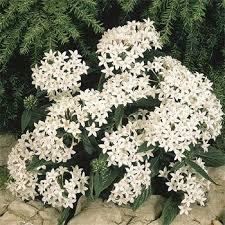 Pentas Flower Pentas Seed White Pentas Lanceeolata Flower Seeds