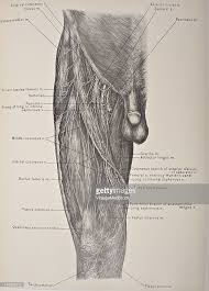 The Human Anatomy Muscles Muscles Vessels U0026 Nerves Of The Front Thigh Pictures Getty Images