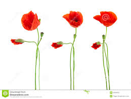 poppies flowers trio of poppies flowers isolated royalty free stock