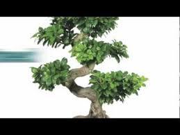 bonsai trees for sale nursery tree wholesalers