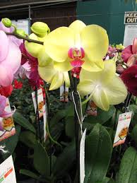 orchids for sale how to re bloom a moth orchid phalaenopsis what grows there