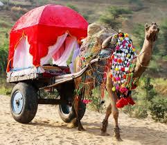 home horse u0026 camel desert safaris in pushkar india