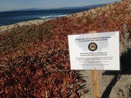 coastal native plants coastal dune restoration to combat sea level rise ecological